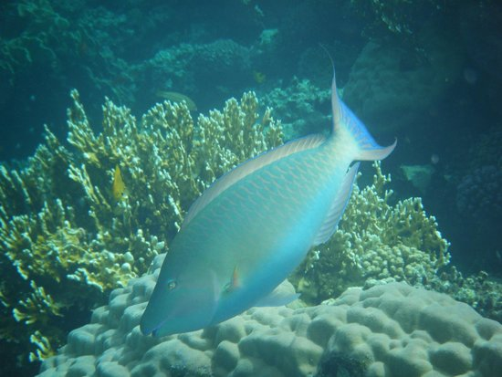 Tropitel Dahab Oasis: A long nosed indian parrotfish