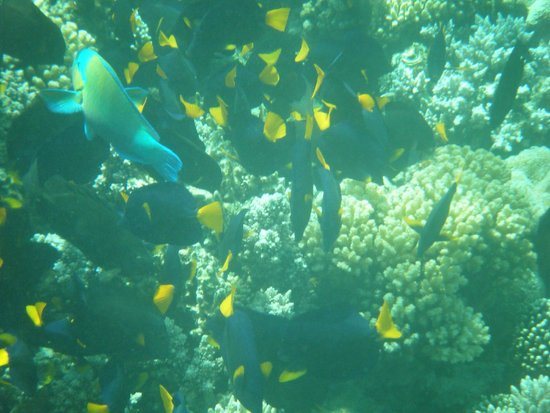 Tropitel Dahab Oasis: A shoal of yellow tailed tangs with a parrotfish in the middle