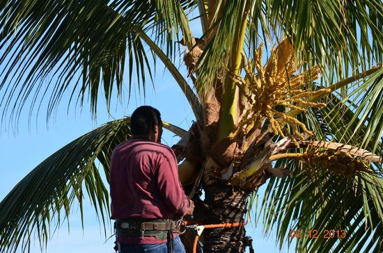 Paki Maui Resort : trimming the trees on property