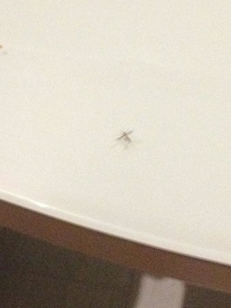 Italiana Hotels Florence: one of those mosquitoes found inside the room.