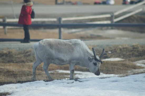 Radisson Blu Polar Hotel, Spitsbergen, Longyearbyen : Even the Reindeer come here for lunch