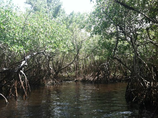 Speedy's Airboat Tours: Mangrove