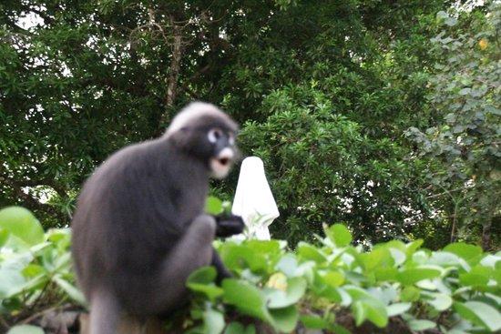The Datai Langkawi: pet monkey