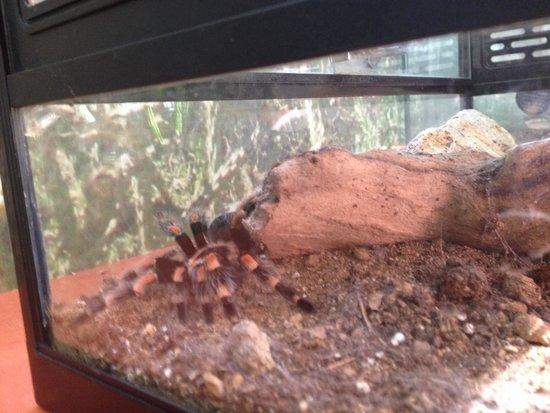 Insectopia : Tarantula!