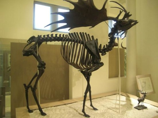 American Museum of Natural History: The ancient deer