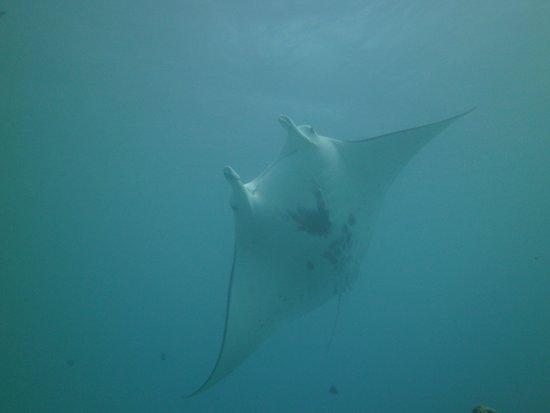 Maupiti Island, Polinesia francese: Manta Ray