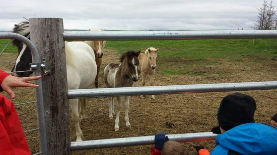 Icelandic HorseWorld: 3 week old foals.