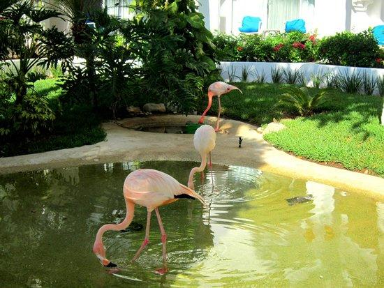 Pueblo Bonito Los Cabos: Flamingos