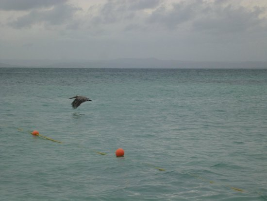 Luxury Bahia Principe Cayo Levantado Don Pablo Collection: Pelican flying in private beach area