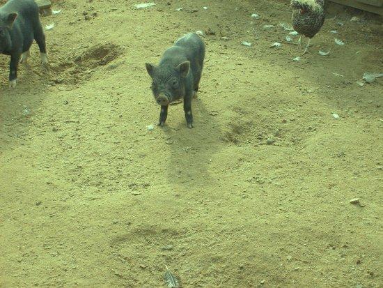 Domaine Des Chenes Verts: le cochon