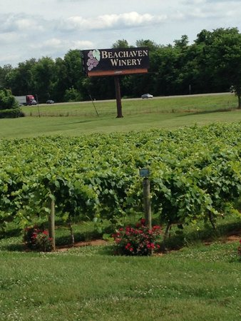 Beachaven Vineyards & Winery: Some of the grapes