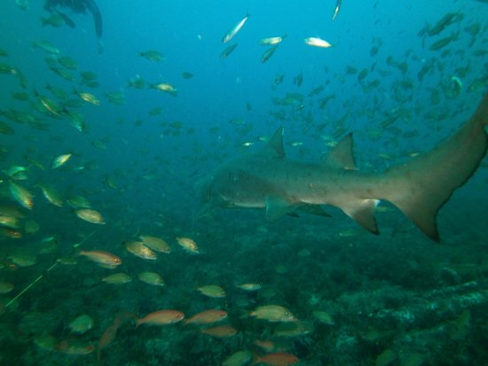 Olympus Dive Center: A Sand Tiger shark cruises buy