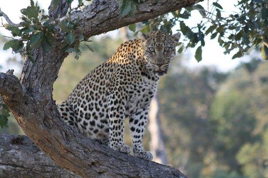 Tanda Tula Safari Camp: close lepard