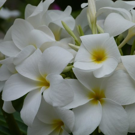 Frangipani flowers in the grounds of Hibiscus Heights