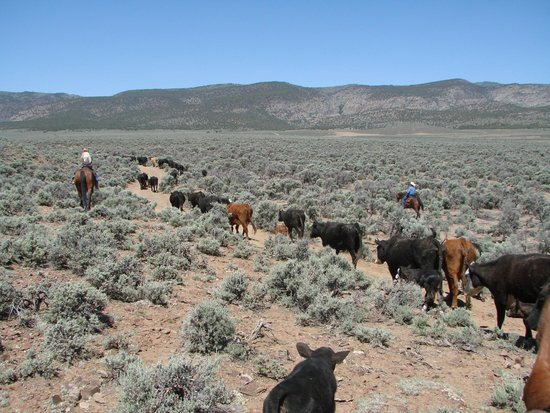 Rockin R Ranch: Rounding Up and driving Cattle