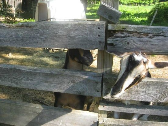 Sugarbush Farm: Goats