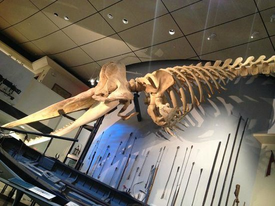Whaling Museum: The bones of a 'small' sperm whale on display