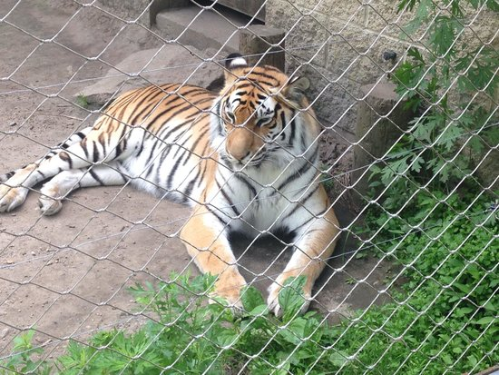 Southwick's Zoo: One of the Bengal tiger sisters relaxing in the shade.