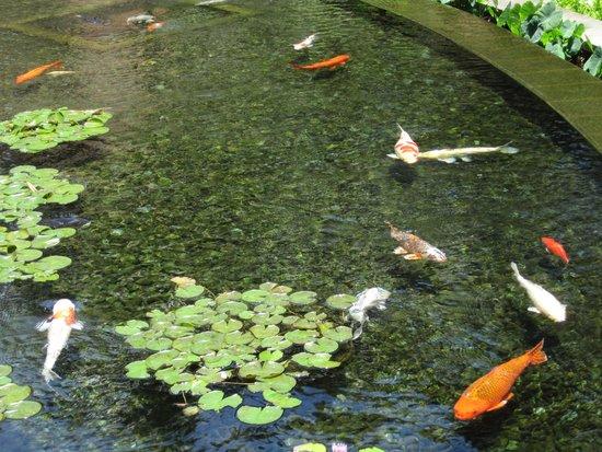 Sheraton Waikiki: koi pond