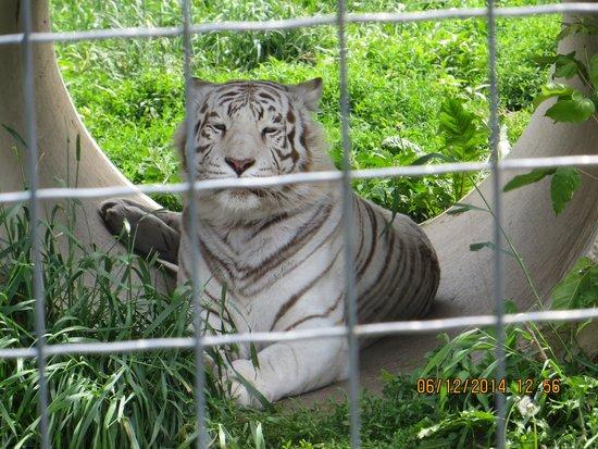 Wisconsin Big Cat Rescue: tiger