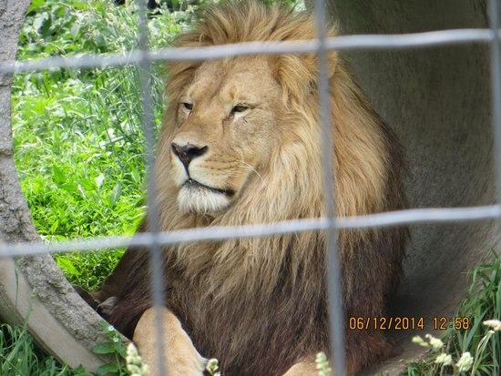 Wisconsin Big Cat Rescue: lion