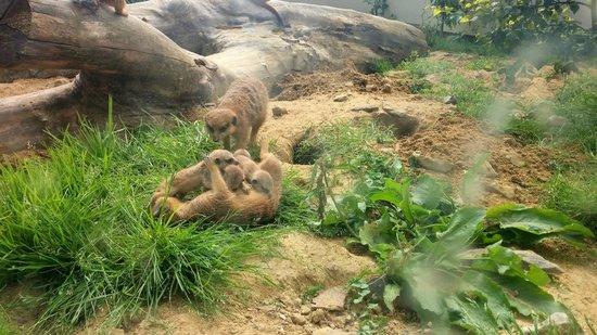 Parc Zoologique : Moment émouvant face aux Suricates