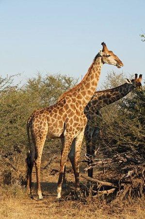 Bushfind - Day Tours: Giraffes in Kruger Park