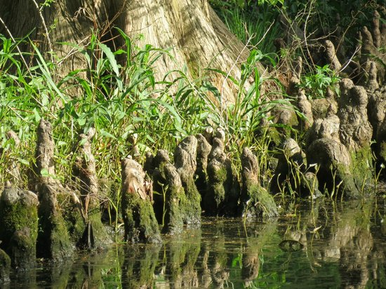 Tiptonville, TN: Cypress knees at Reelfoot.