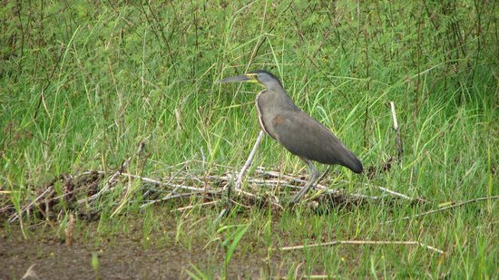 Crooked Tree Lodge: Bare-throated Tiger Heron seen from lodge