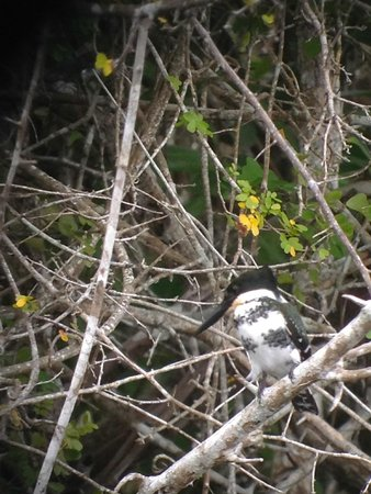 Crooked Tree Lodge: Kingfisher near lodge