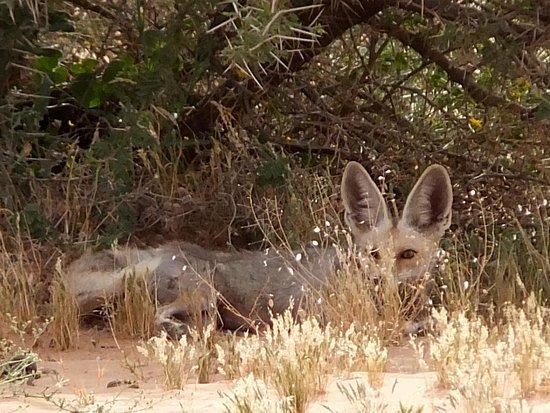 Riyadh Province, Arabia Saudita: Desert Fox