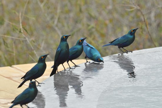 Amboseli Eco-system, Kenia: Starlings drinking from our pool