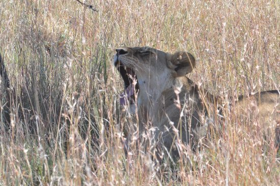 Great Plains Conservation ol Donyo Lodge: Lazy afternoon with a lioness
