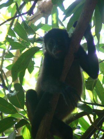 Hotel Bosque del Mar Playa Hermosa : Howler Monkey at Hotel