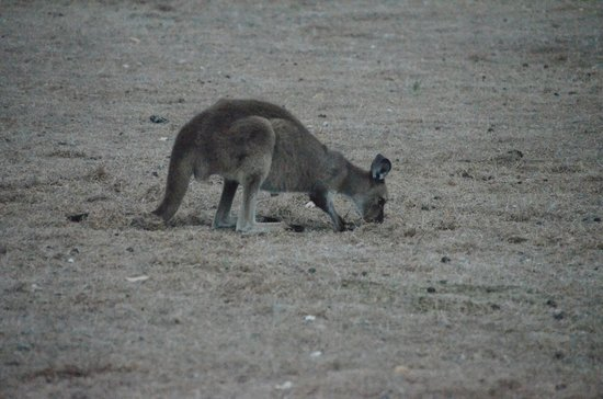 Southern Ocean Lodge: Kangaroos and Canapés