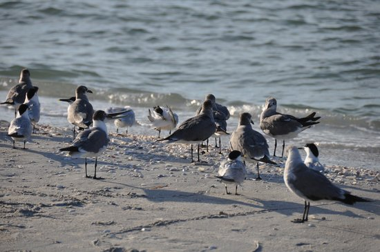 Sanibel Inn: birds eating fish