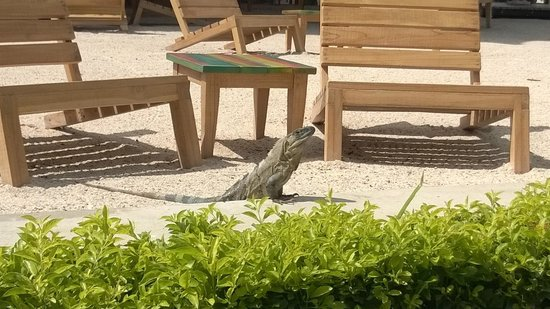 El Mangroove, Autograph Collection : One of many iguanas hanging out