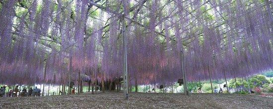Ashikaga, Japão: Глициния