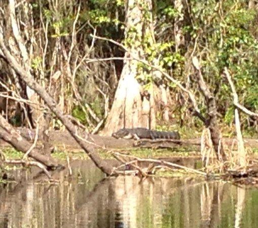 Canoe Escape : Gators in the wild!
