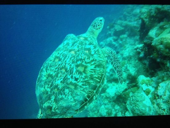 Wakatobi Dive Resort : Turtle in front of the house