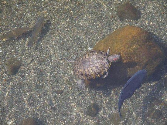 Suizenji Jojuen Garden: черепаху видели