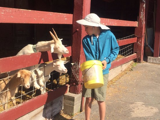 Country Log House Farm Bed and Breakfast: Feeding the goats