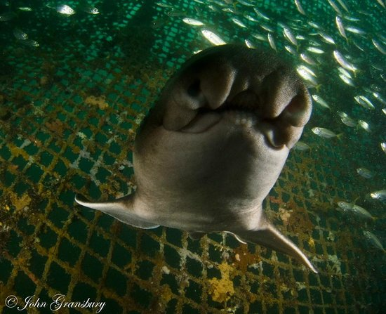 Swim with the Tuna: Kisses from a Port Jackson shark