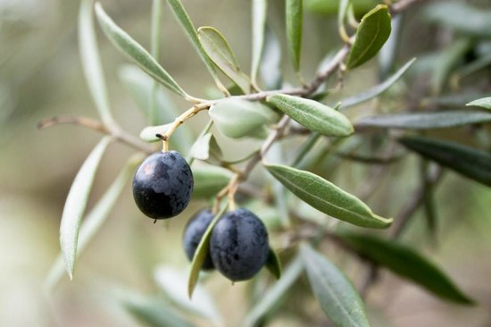 Wagga Wagga Visitor Information Centre: Olives