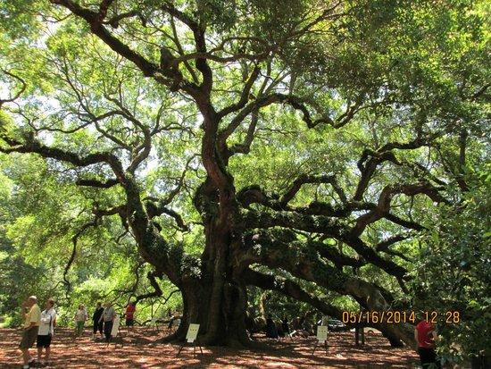 Angel Oak Tree : Living