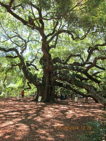 Angel Oak Tree : Must Experience