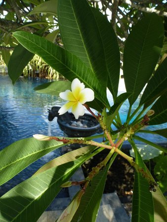Four Seasons Resort Langkawi, Malaysia : One of the beautiful flowers found all around the property...