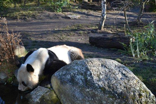Tiergarten Schönbrunn - Zoo Vienna: панда на водопое
