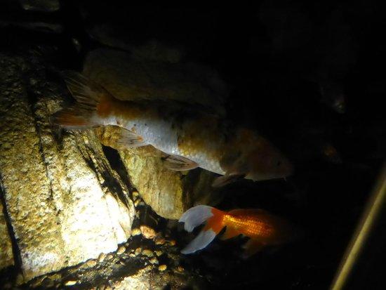 Phipps Conservatory: Fische im Botanischen Garten - direkt hinter einer sehr sauberen Glasscheibe!