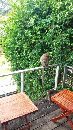 The Windflower Resort & Spa, Mysore : Monkeys :-o